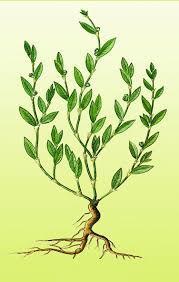 Лечение геморроя травами недорогими и эффективными, какие травы помогают от геморроя